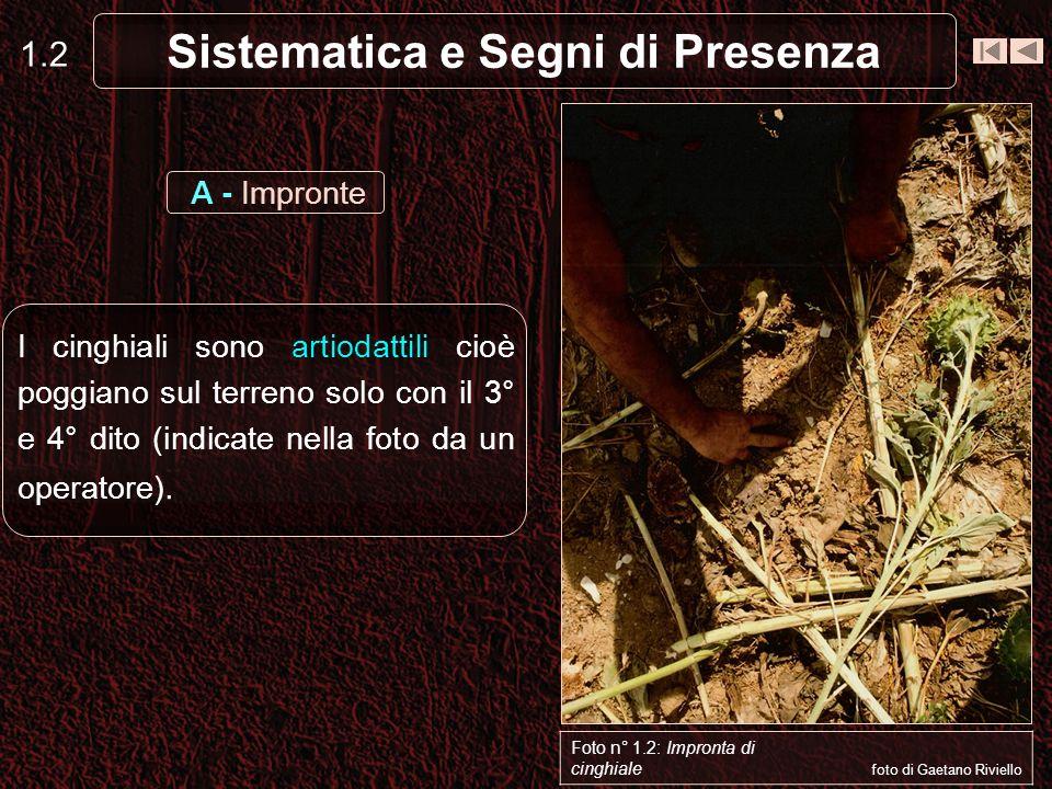 Sistematica e Segni di Presenza 1.2 I cinghiali sono artiodattili cioè poggiano sul terreno solo con il 3° e 4° dito (indicate nella foto da un operatore).
