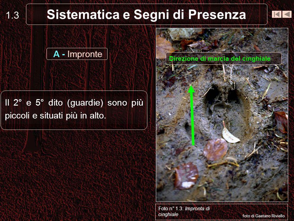 Sistematica e Segni di Presenza 1.3 Il 2° e 5° dito (guardie) sono più piccoli e situati più in alto.