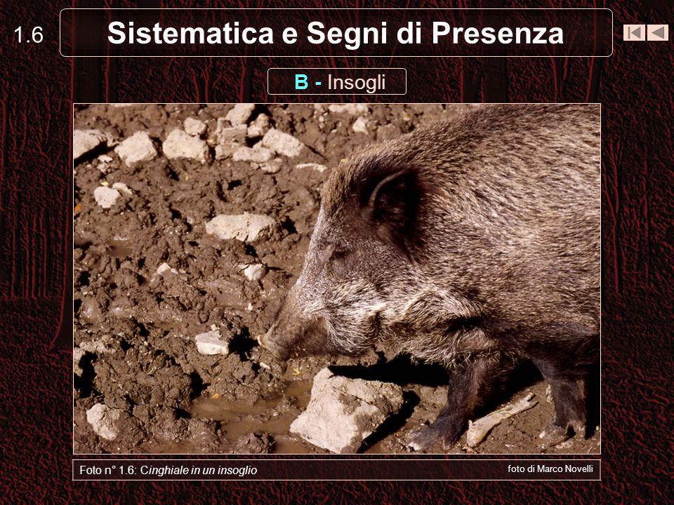 Sistematica e Segni di Presenza 1.6 Foto n° 1.6: Cinghiale in un insoglio foto di Marco Novelli B - Insogli