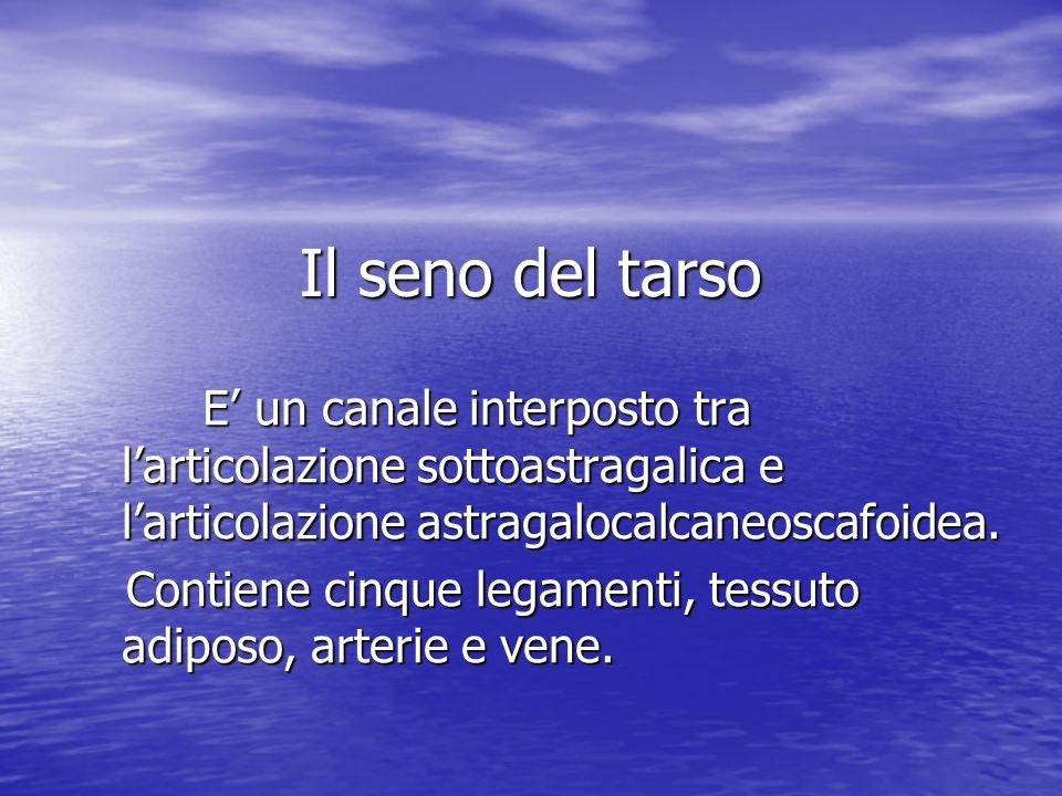 Il seno del tarso E un canale interposto tra larticolazione sottoastragalica e larticolazione astragalocalcaneoscafoidea. E un canale interposto tra l