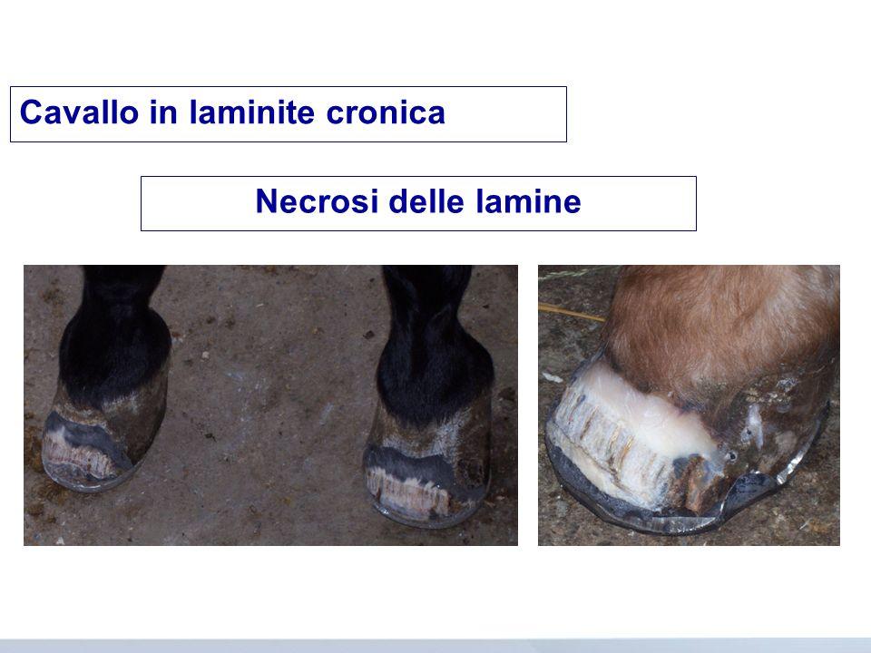 Cavallo in laminite cronica Necrosi delle lamine