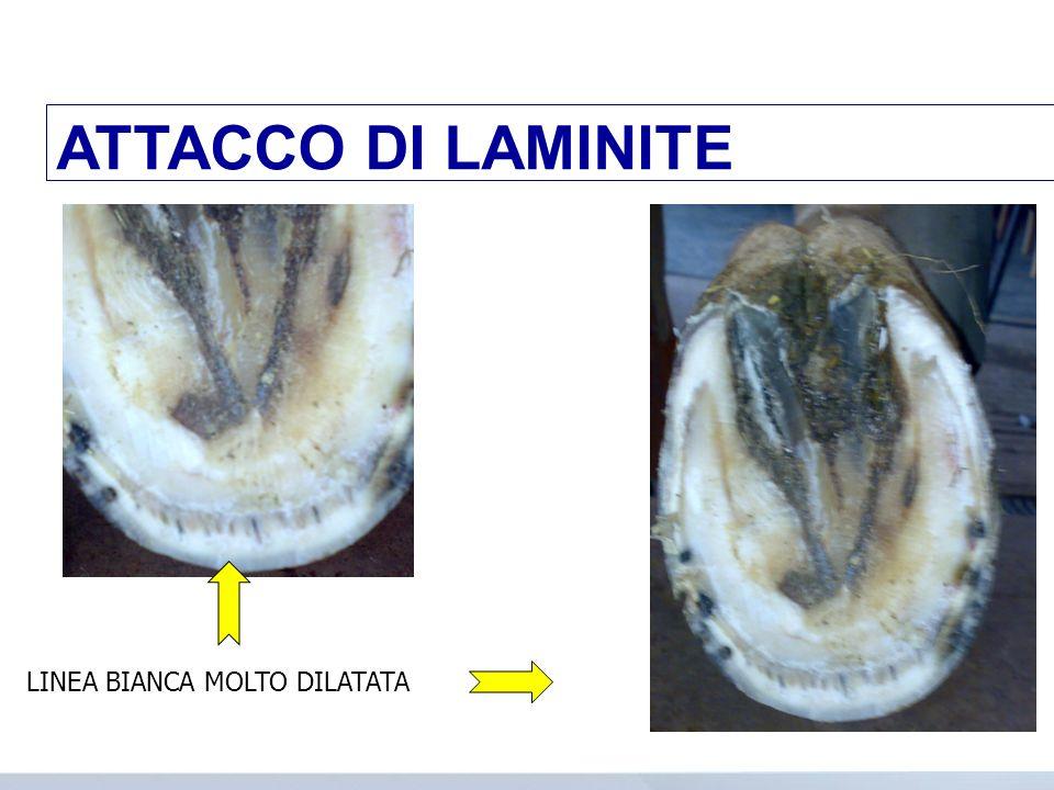 Bipede anteriore / quattro arti; Variazione base dappoggio / decubito; Ansietà/tremori/febbre/tachipnea/ mucose iniettate PER DOLORE Calore della parete; Polso digitale aumentato; Sintomatologia laminite acuta LAMINITE INDAGINE TERMOGRAFICA