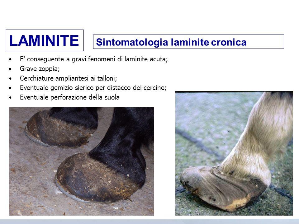 Sintomatologia laminite cronica E conseguente a gravi fenomeni di laminite acuta; Grave zoppia; Cerchiature ampliantesi ai talloni; Eventuale gemizio