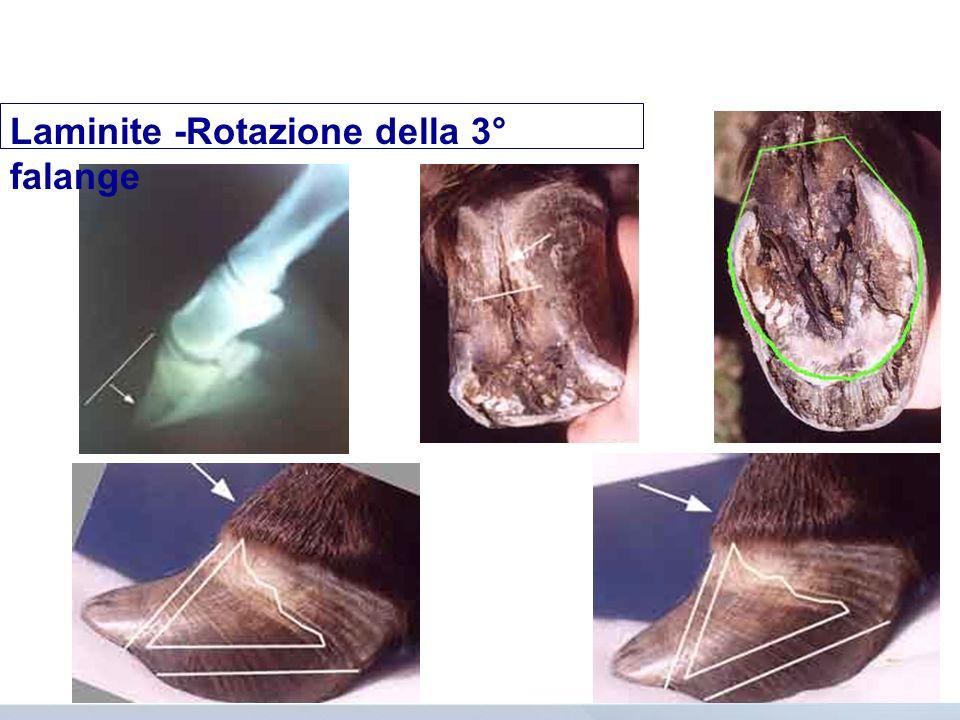 Laminite -Rotazione della 3° falange
