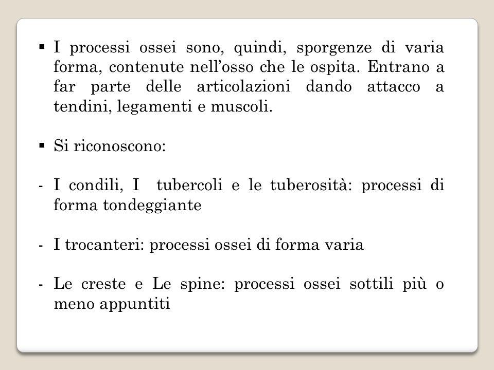 I processi ossei sono, quindi, sporgenze di varia forma, contenute nellosso che le ospita. Entrano a far parte delle articolazioni dando attacco a ten