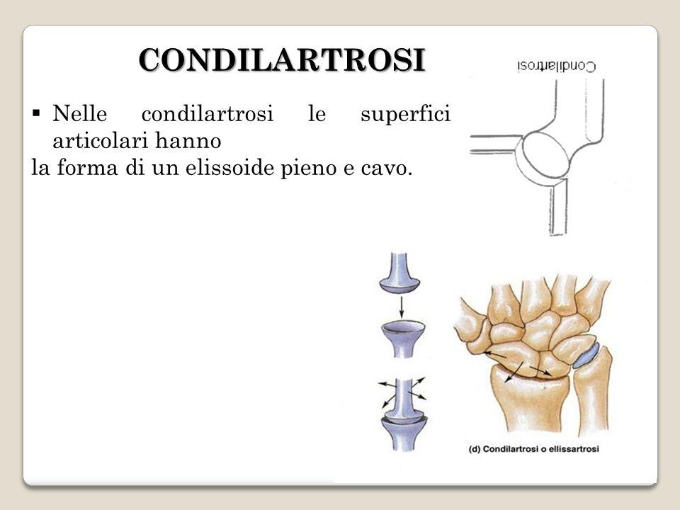 CONDILARTROSI Nelle condilartrosi le superfici articolari hanno la forma di un elissoide pieno e cavo.
