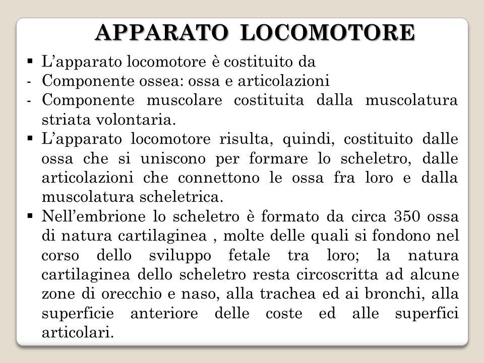 APPARATO LOCOMOTORE Lapparato locomotore è costituito da -Componente ossea: ossa e articolazioni -Componente muscolare costituita dalla muscolatura st
