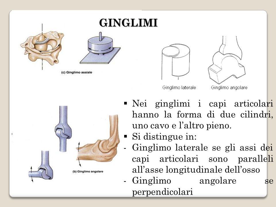 GINGLIMI Nei ginglimi i capi articolari hanno la forma di due cilindri, uno cavo e laltro pieno. Si distingue in: -Ginglimo laterale se gli assi dei c