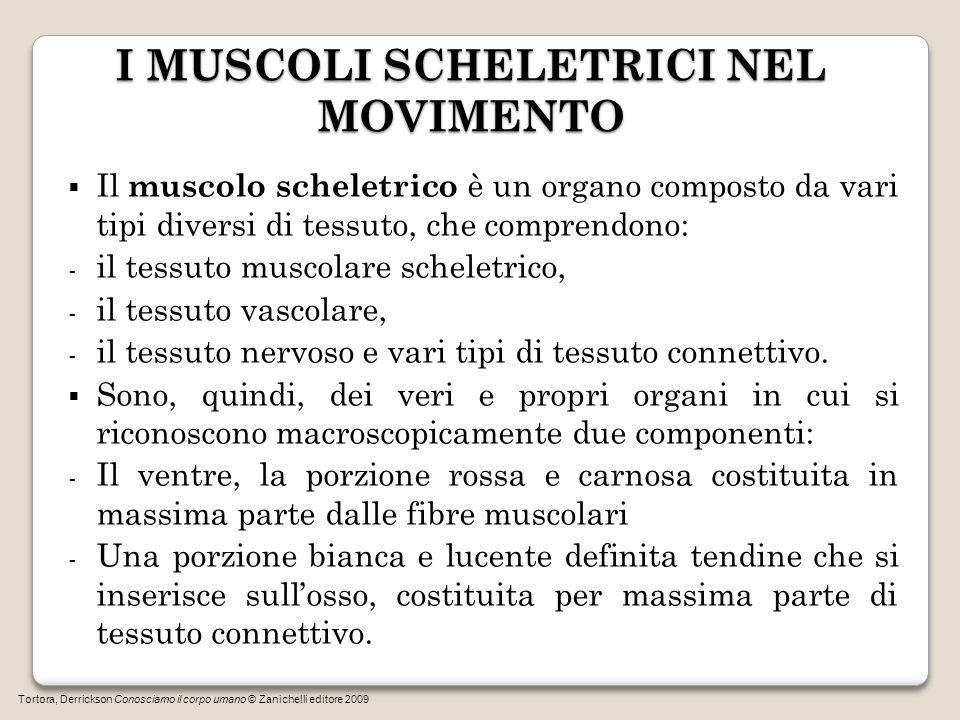 I MUSCOLI SCHELETRICI NEL MOVIMENTO Il muscolo scheletrico è un organo composto da vari tipi diversi di tessuto, che comprendono: - il tessuto muscola