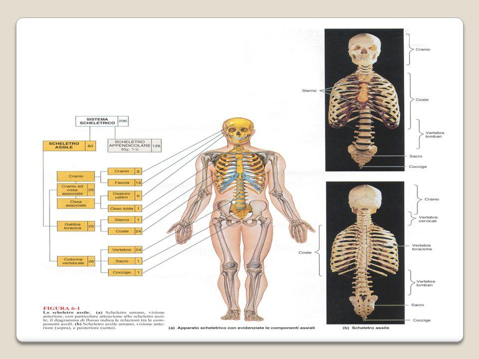 I muscoli vengono classificati anche in base del tipo di movimento consentito alle diverse parti del corpo.