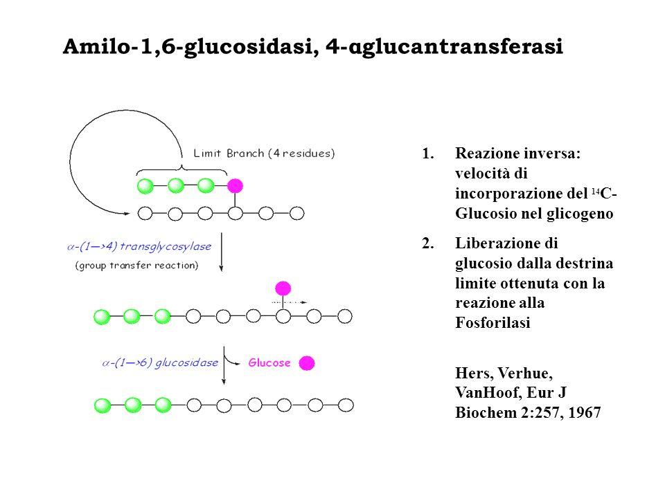 Amilo-1,6-glucosidasi, 4-αglucantransferasi 1.Reazione inversa: velocità di incorporazione del 14 C- Glucosio nel glicogeno 2.Liberazione di glucosio