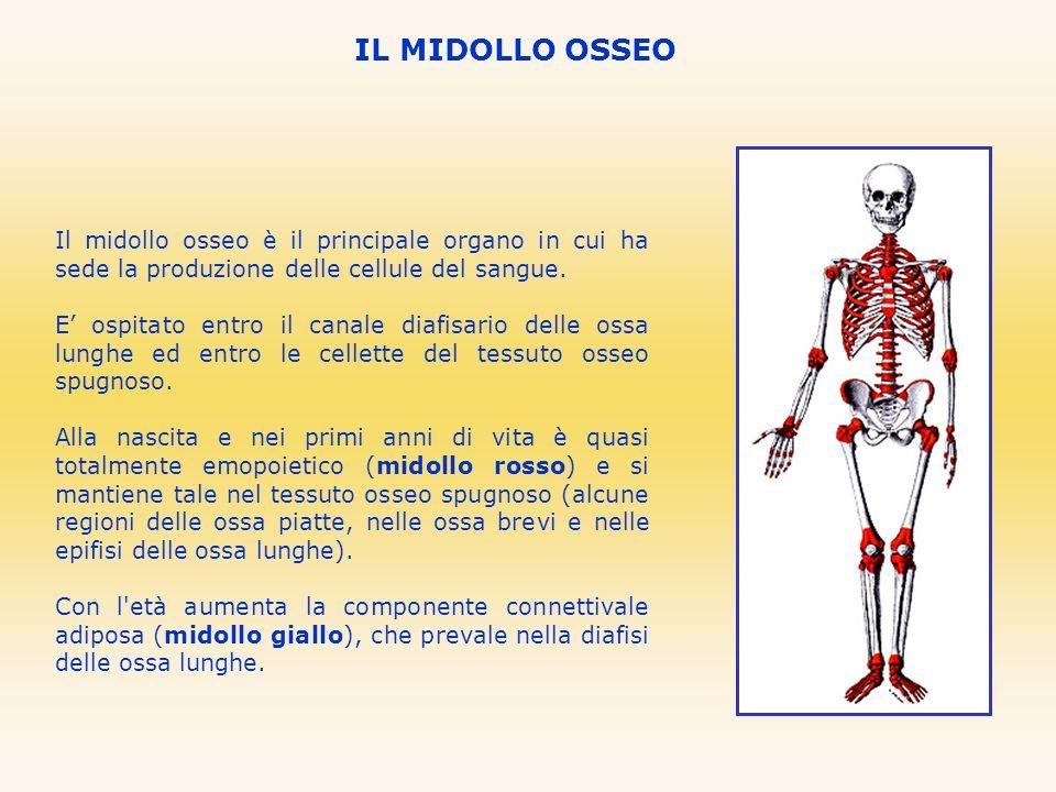 IL MIDOLLO OSSEO Il midollo osseo è il principale organo in cui ha sede la produzione delle cellule del sangue. E ospitato entro il canale diafisario