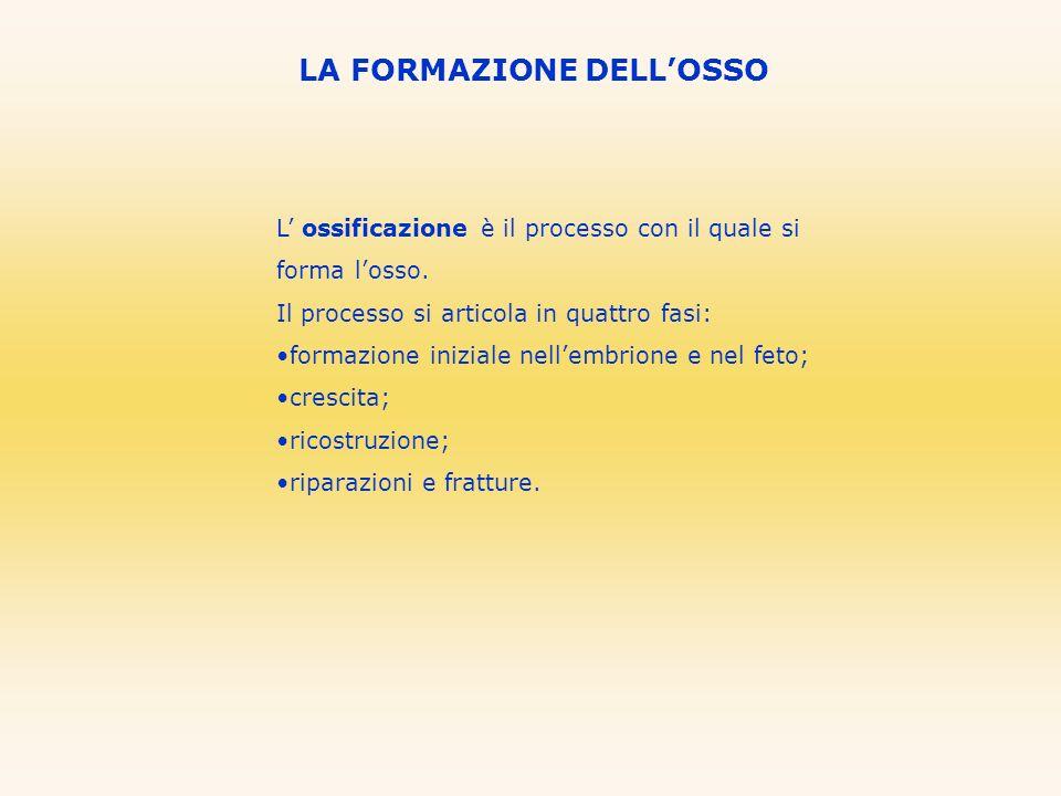 LA FORMAZIONE DELLOSSO L ossificazione è il processo con il quale si forma losso. Il processo si articola in quattro fasi: formazione iniziale nellemb