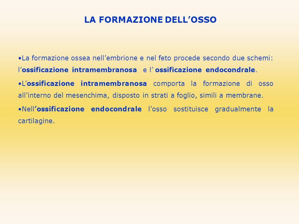 LA FORMAZIONE DELLOSSO La formazione ossea nellembrione e nel feto procede secondo due schemi: lossificazione intramembranosa e l ossificazione endoco