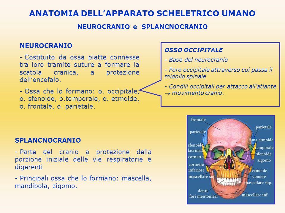 NEUROCRANIO e SPLANCNOCRANIO ANATOMIA DELLAPPARATO SCHELETRICO UMANO NEUROCRANIO - Costituito da ossa piatte connesse tra loro tramite suture a formar