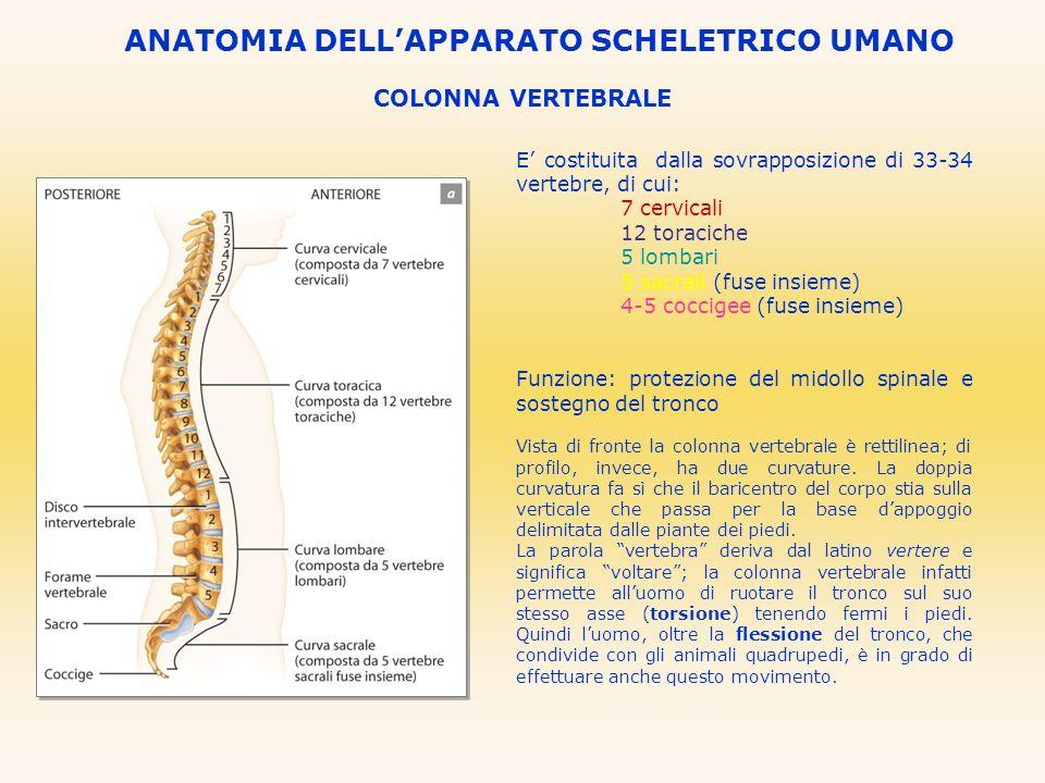 COLONNA VERTEBRALE E costituita dalla sovrapposizione di 33-34 vertebre, di cui: 7 cervicali 12 toraciche 5 lombari 5 sacrali (fuse insieme) 4-5 cocci