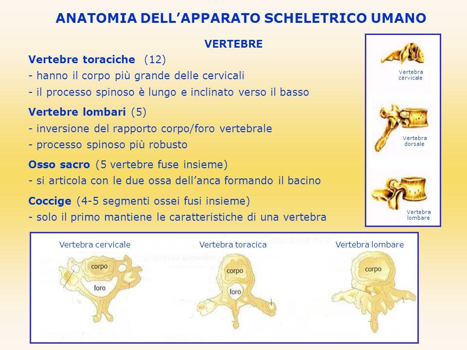 VERTEBRE Vertebre toraciche (12) - hanno il corpo più grande delle cervicali - il processo spinoso è lungo e inclinato verso il basso Vertebre lombari