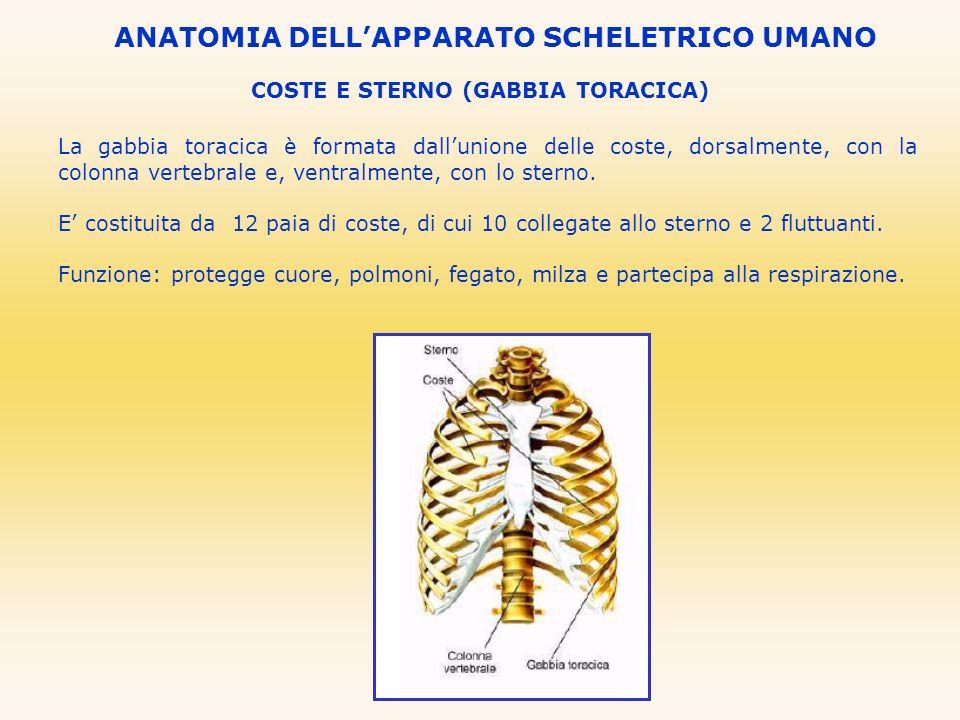 COSTE E STERNO (GABBIA TORACICA) La gabbia toracica è formata dallunione delle coste, dorsalmente, con la colonna vertebrale e, ventralmente, con lo s