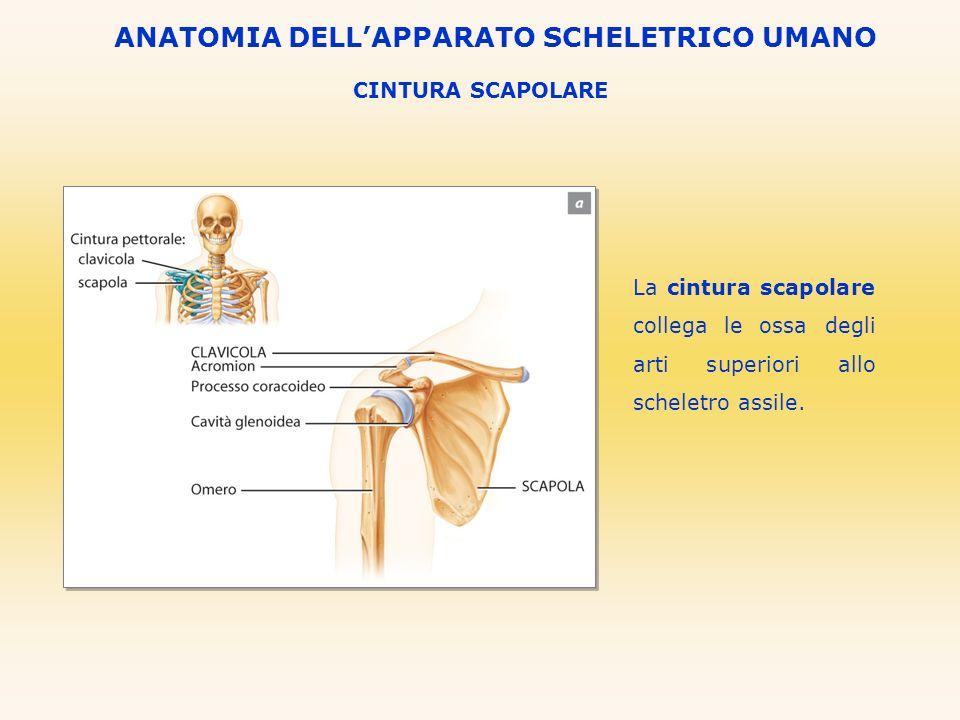CINTURA SCAPOLARE ANATOMIA DELLAPPARATO SCHELETRICO UMANO La cintura scapolare collega le ossa degli arti superiori allo scheletro assile.