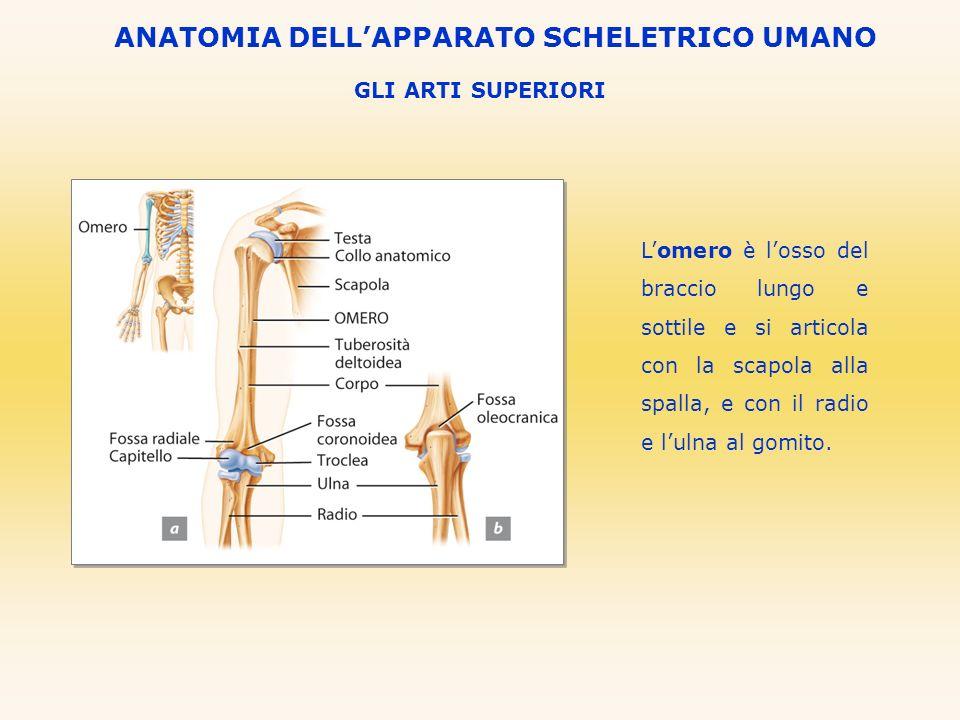 GLI ARTI SUPERIORI ANATOMIA DELLAPPARATO SCHELETRICO UMANO Lomero è losso del braccio lungo e sottile e si articola con la scapola alla spalla, e con