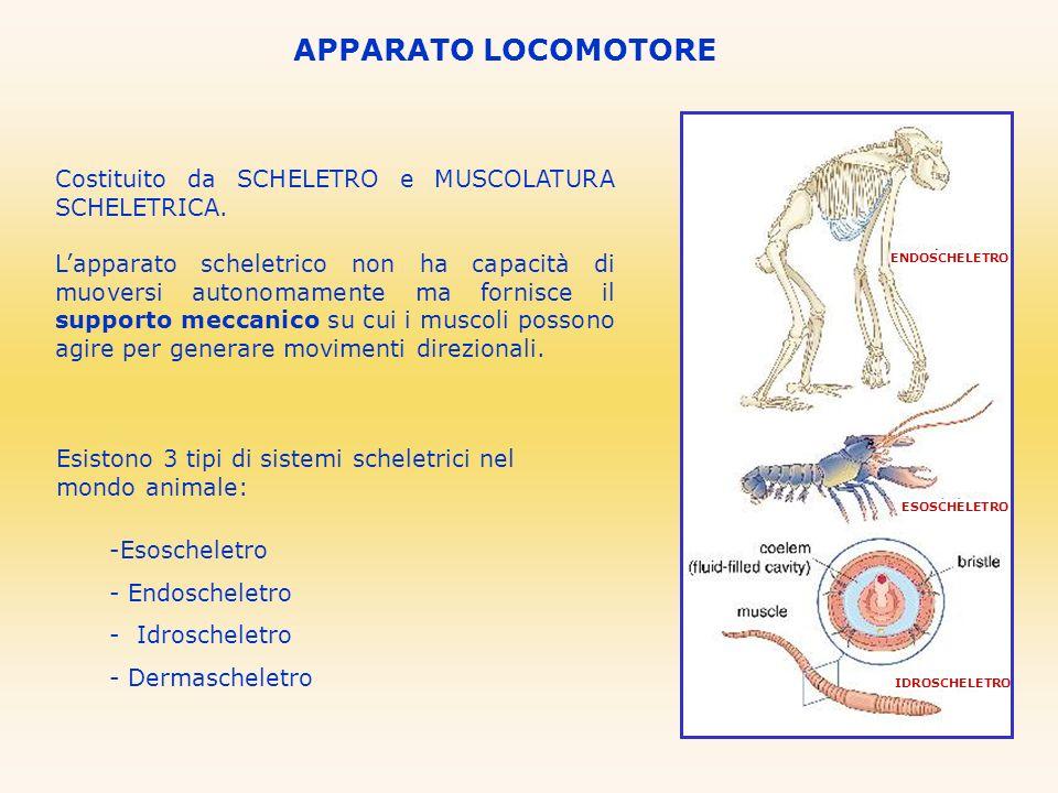 Costituito da SCHELETRO e MUSCOLATURA SCHELETRICA. Lapparato scheletrico non ha capacità di muoversi autonomamente ma fornisce il supporto meccanico s