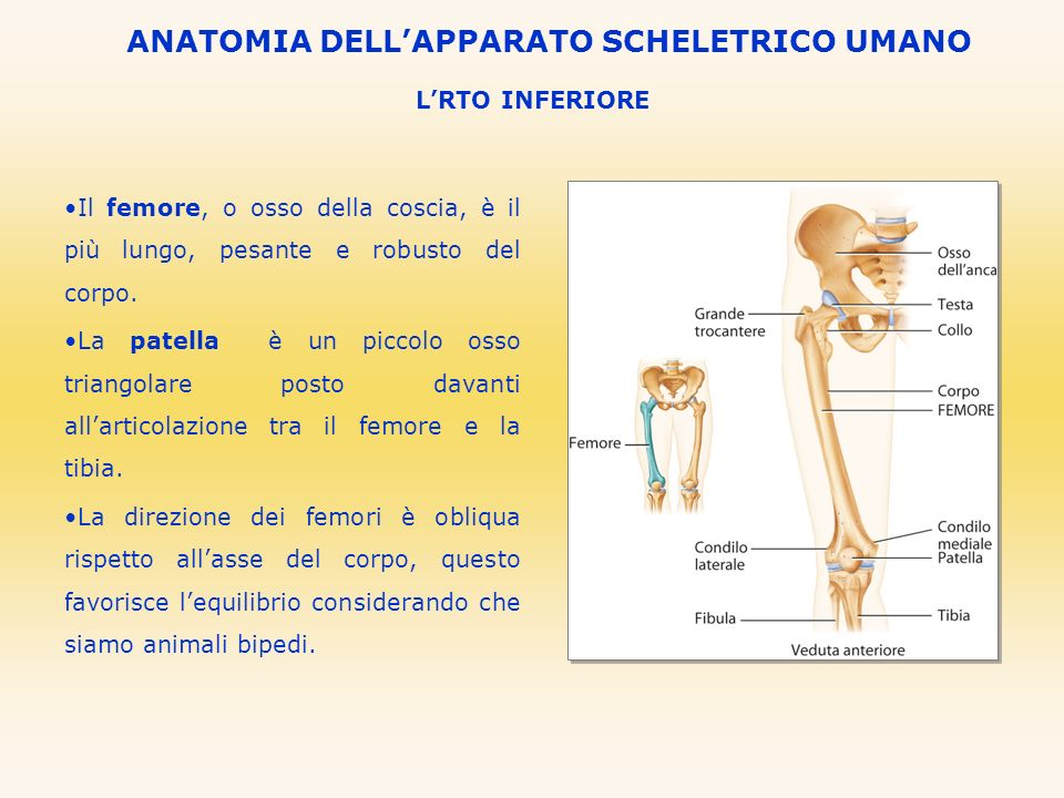 LRTO INFERIORE ANATOMIA DELLAPPARATO SCHELETRICO UMANO Il femore, o osso della coscia, è il più lungo, pesante e robusto del corpo. La patella è un pi