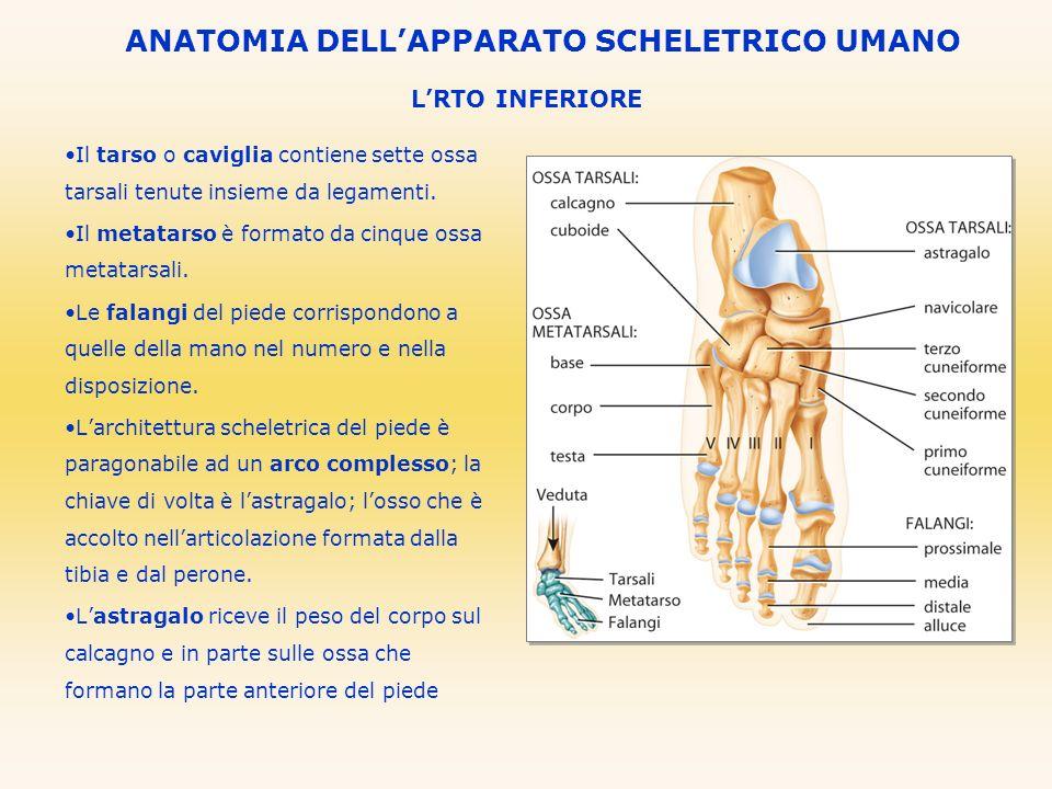 LRTO INFERIORE ANATOMIA DELLAPPARATO SCHELETRICO UMANO Il tarso o caviglia contiene sette ossa tarsali tenute insieme da legamenti. Il metatarso è for