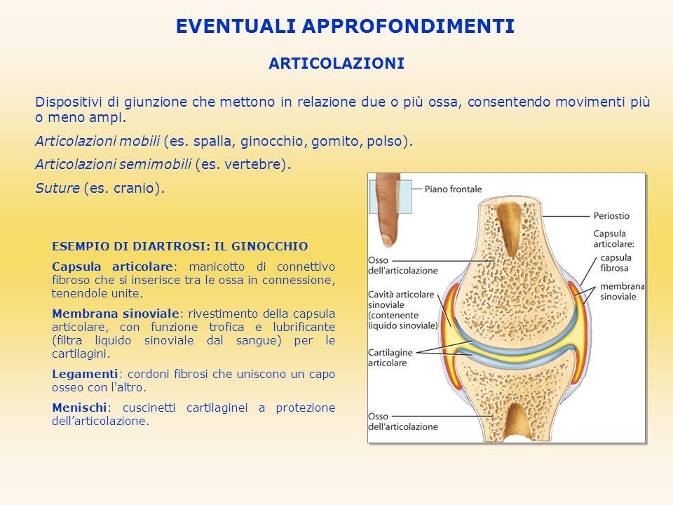 ARTICOLAZIONI EVENTUALI APPROFONDIMENTI Dispositivi di giunzione che mettono in relazione due o più ossa, consentendo movimenti più o meno ampi. Artic