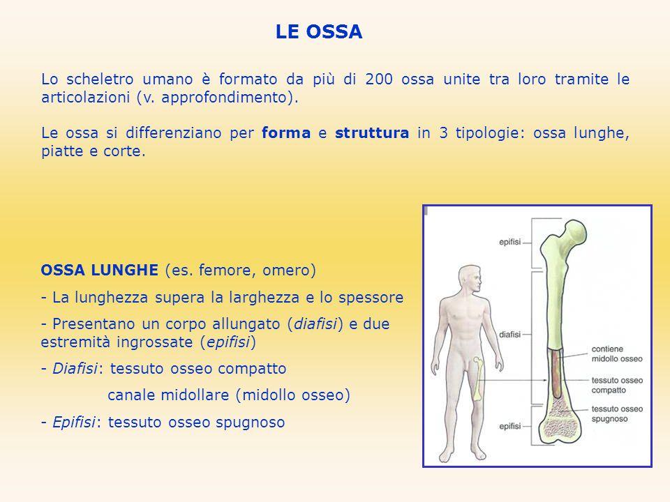 LE OSSA Lo scheletro umano è formato da più di 200 ossa unite tra loro tramite le articolazioni (v. approfondimento). Le ossa si differenziano per for
