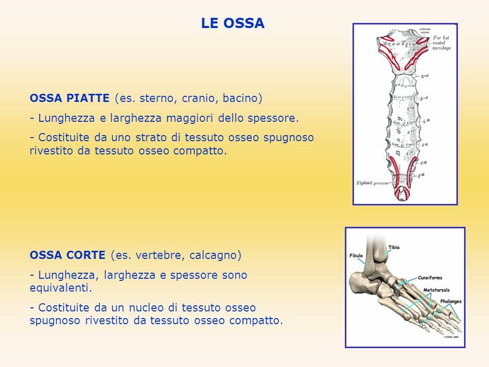LE OSSA OSSA PIATTE (es. sterno, cranio, bacino) - Lunghezza e larghezza maggiori dello spessore. - Costituite da uno strato di tessuto osseo spugnoso