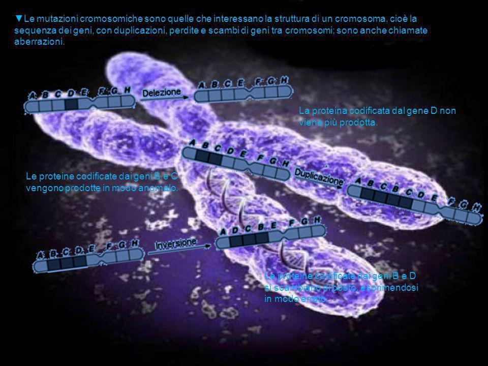Le mutazioni cromosomiche sono quelle che interessano la struttura di un cromosoma, cioè la sequenza dei geni, con duplicazioni, perdite e scambi di g