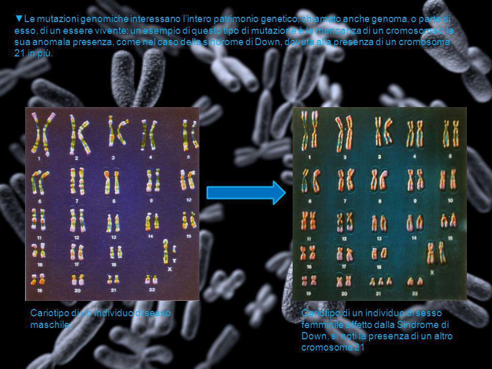 Le mutazioni genomiche interessano lintero patrimonio genetico, chiamato anche genoma, o parte di esso, di un essere vivente; un esempio di questo tip
