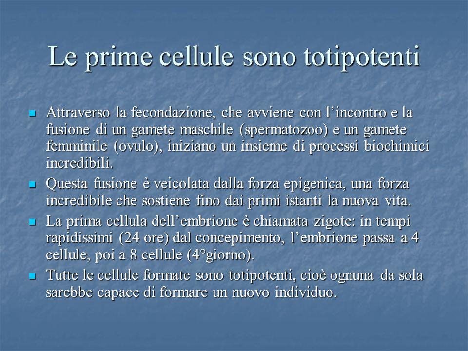 Le prime cellule sono totipotenti Attraverso la fecondazione, che avviene con lincontro e la fusione di un gamete maschile (spermatozoo) e un gamete f