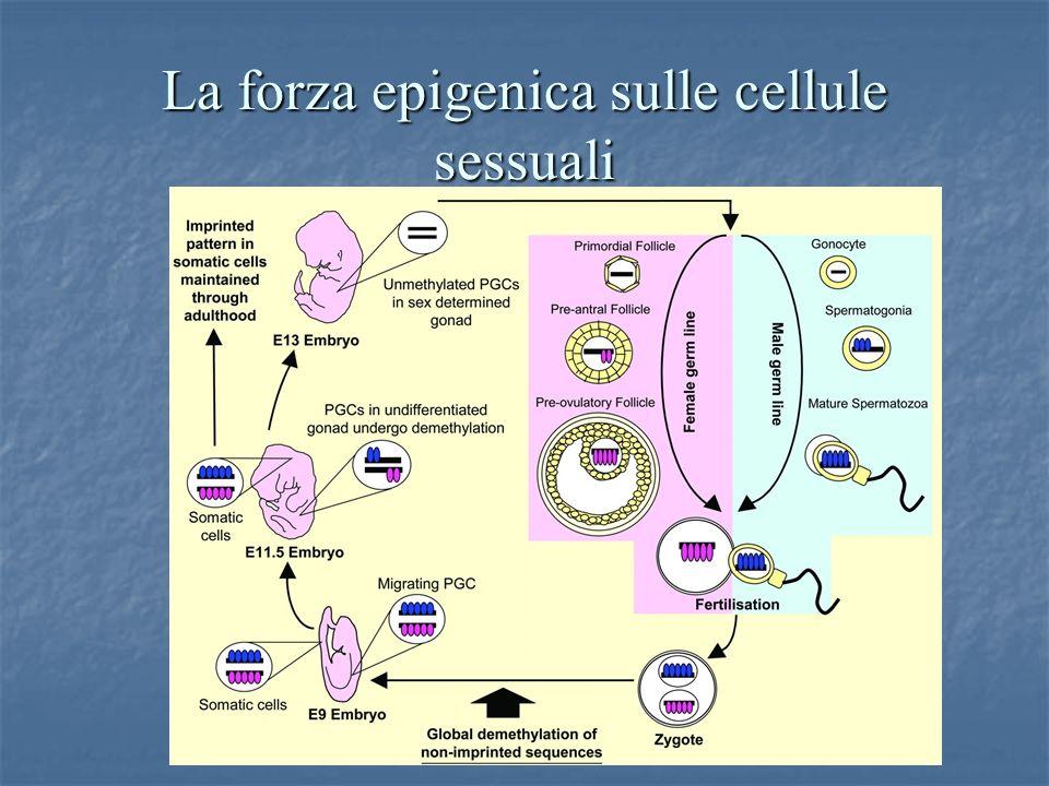 La forza epigenica sulle cellule sessuali