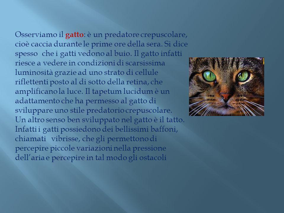 Osserviamo il gatto : è un predatore crepuscolare, cioè caccia durante le prime ore della sera. Si dice spesso che i gatti vedono al buio. Il gatto in