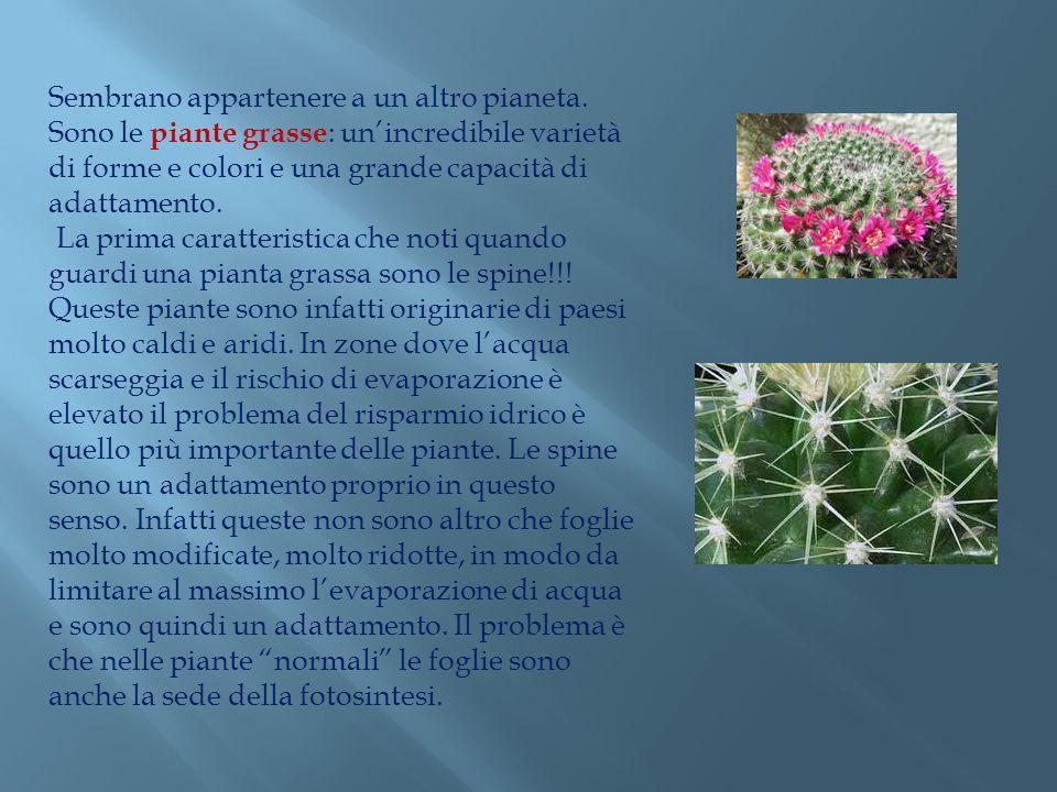 Sembrano appartenere a un altro pianeta. Sono le piante grasse : unincredibile varietà di forme e colori e una grande capacità di adattamento. La prim