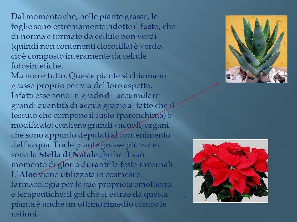 Dal momento che, nelle piante grasse, le foglie sono estremamente ridotte il fusto, che di norma è formato da cellule non verdi (quindi non contenenti