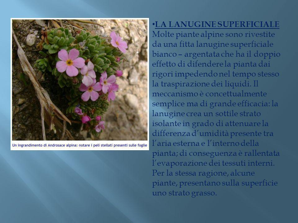 LA LANUGINE SUPERFICIALE Molte piante alpine sono rivestite da una fitta lanugine superficiale bianco – argentata che ha il doppio effetto di difender