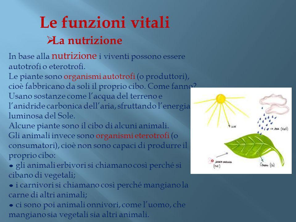 In base alla nutrizione i viventi possono essere autotrofi o eterotrofi. Le piante sono organismi autotrofi (o produttori), cioè fabbricano da soli il