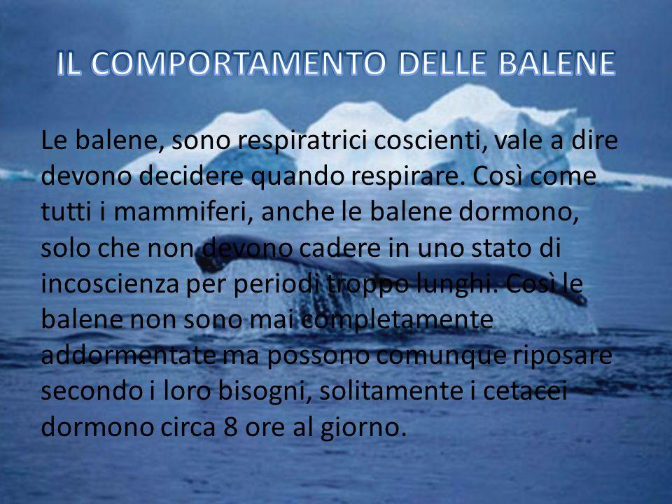 Le balene, sono respiratrici coscienti, vale a dire devono decidere quando respirare.