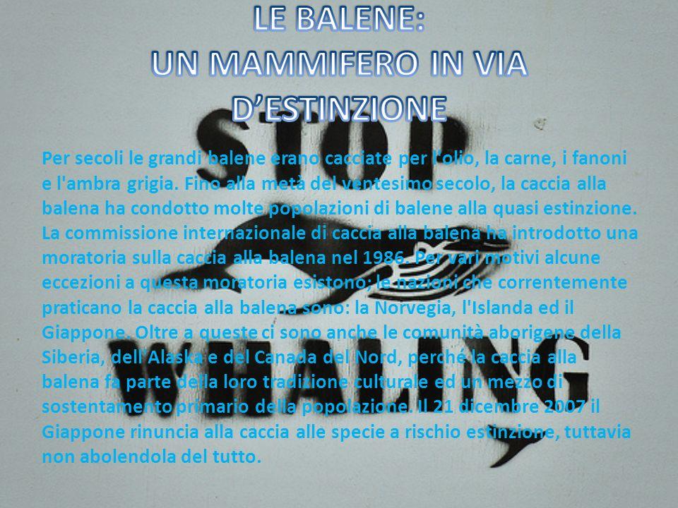 Per secoli le grandi balene erano cacciate per l olio, la carne, i fanoni e l ambra grigia.