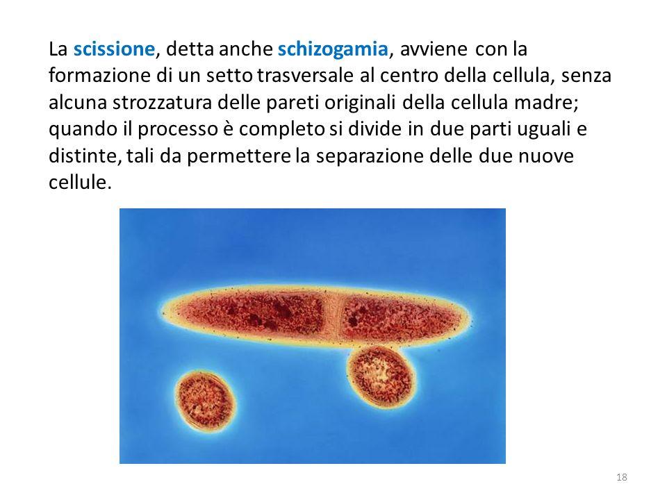 La scissione, detta anche schizogamia, avviene con la formazione di un setto trasversale al centro della cellula, senza alcuna strozzatura delle paret