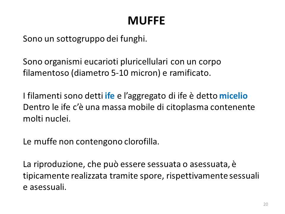 MUFFE Sono un sottogruppo dei funghi. Sono organismi eucarioti pluricellulari con un corpo filamentoso (diametro 5-10 micron) e ramificato. I filament