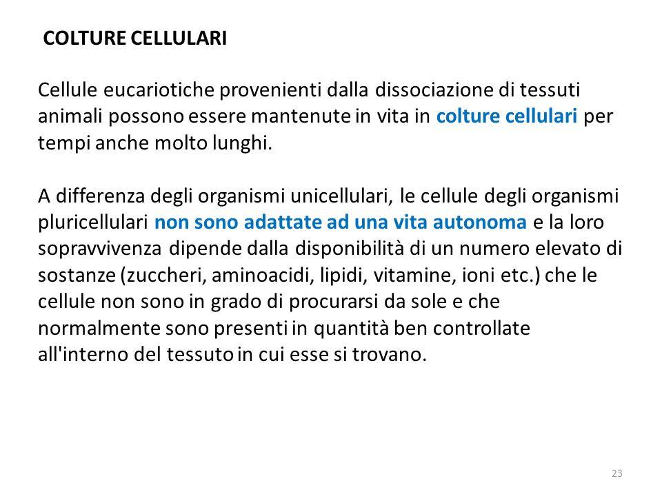 COLTURE CELLULARI Cellule eucariotiche provenienti dalla dissociazione di tessuti animali possono essere mantenute in vita in colture cellulari per te