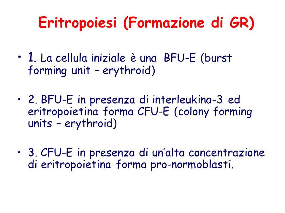 Eritropoiesi (Formazione di GR) 1. La cellula iniziale è una BFU-E (burst forming unit – erythroid) 2. BFU-E in presenza di interleukina-3 ed eritropo