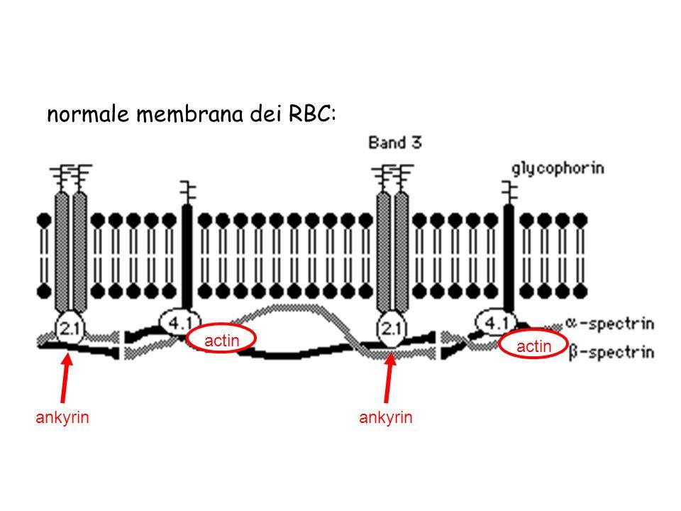 normale membrana dei RBC: ankyrin actin