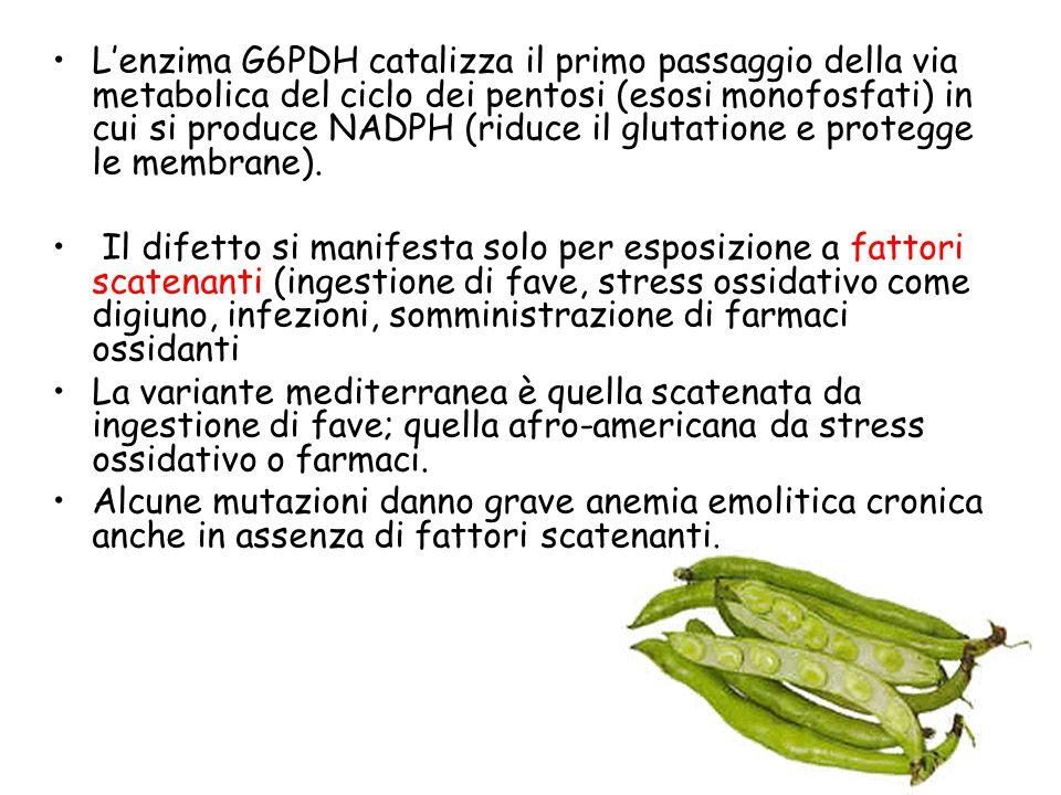 Lenzima G6PDH catalizza il primo passaggio della via metabolica del ciclo dei pentosi (esosi monofosfati) in cui si produce NADPH (riduce il glutatione e protegge le membrane).