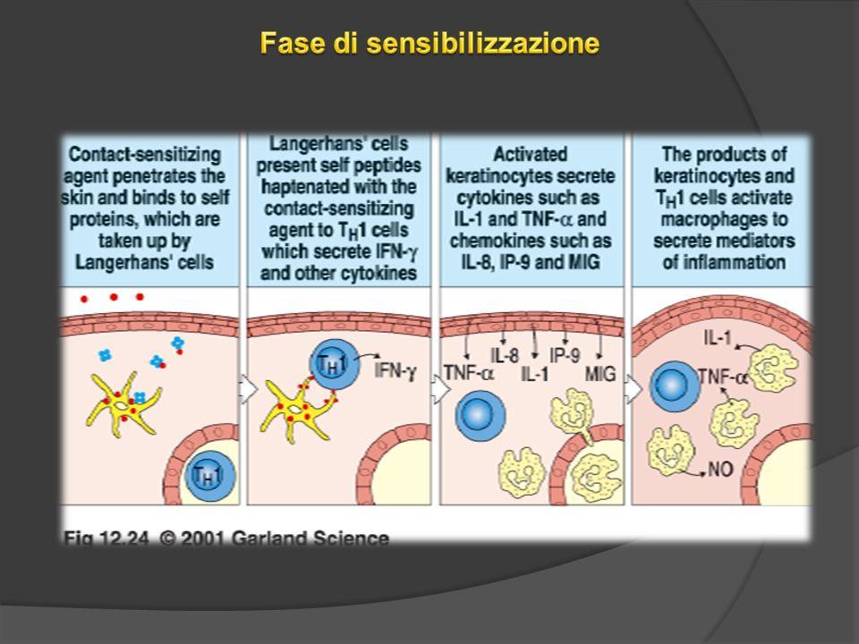 7.Studi recenti hanno dimostrato che anticorpi di classe IgM diretti contro lantigene sensibilizzante sono rapidamente indotti dopo la riesposizione sulla cute.