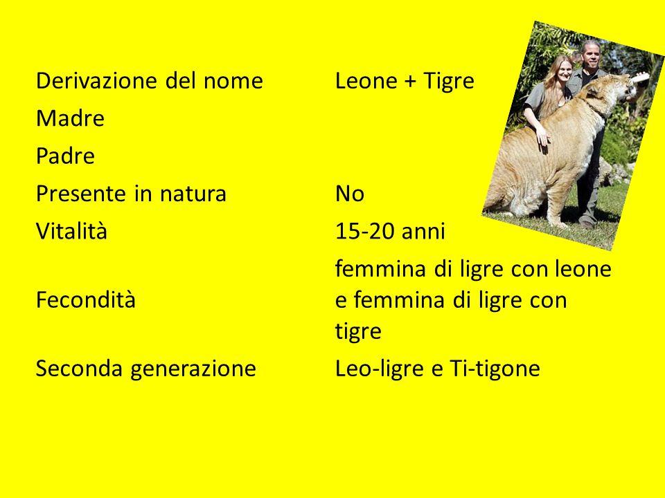 Derivazione del nomeLeone + Tigre Madre Padre Presente in naturaNo Vitalità15-20 anni Fecondità femmina di ligre con leone e femmina di ligre con tigre Seconda generazioneLeo-ligre e Ti-tigone