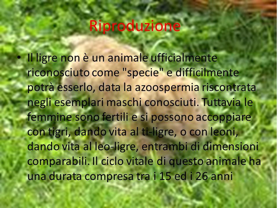 Riproduzione Il ligre non è un animale ufficialmente riconosciuto come specie e difficilmente potrà esserlo, data la azoospermia riscontrata negli esemplari maschi conosciuti.